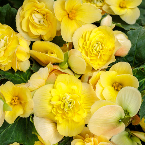 Double Delight Primrose Begonia Flowers