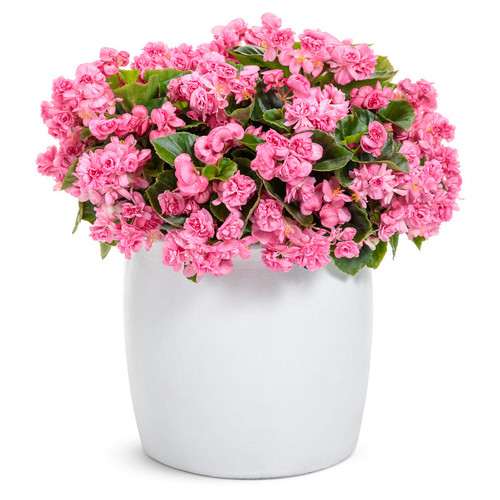 Double Up Pink Begonia in Garden Planter Covered in Blooms