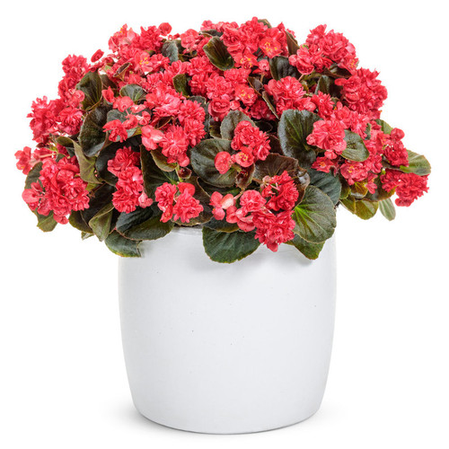Double Up Red Begonia Plant Blooming in Garden Planter