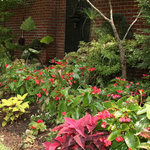 Dragon Wing® Red Begonia in the shade garden