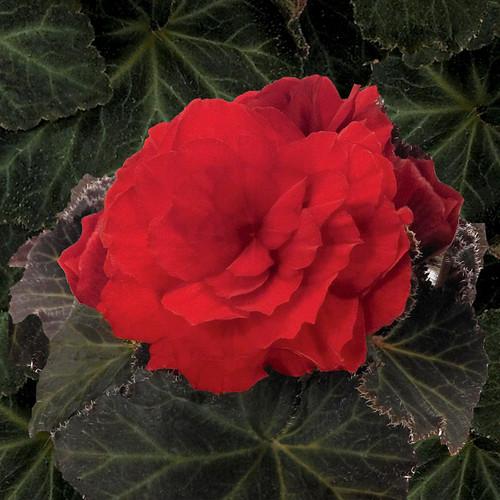 Nonstop® Mocca Scarlet Begonia In Bloom