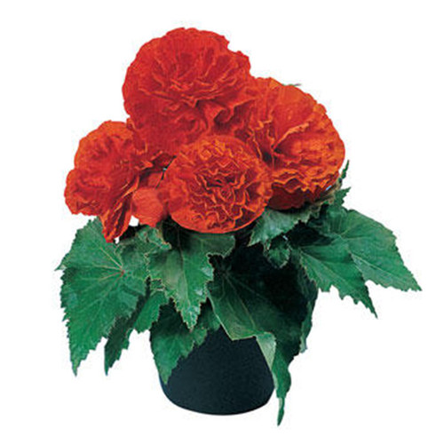 Nonstop® Orange Begonia Plant in Pot