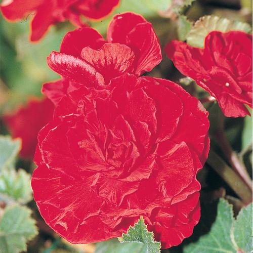Nonstop® Red Begonia Flower Petals