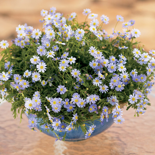 Blue Zephyr Brachyscome in Planter with Blue Flowers