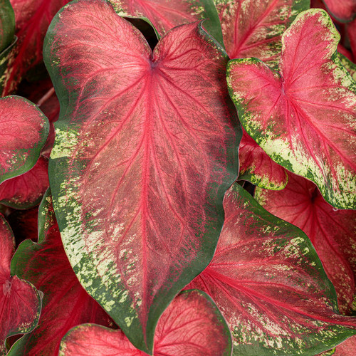 Heart to Heart Hearts Delight Caladium Foliage