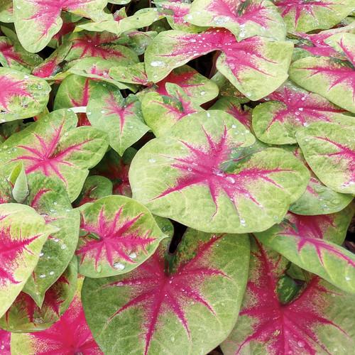 Heart to Heart® Lemon Blush Caladium Foliage