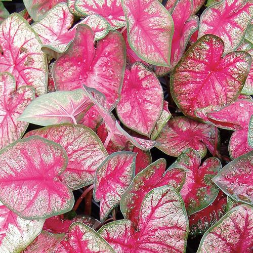 Heart to Heart® Radiance Caladium Foliage