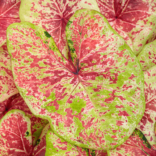 Heart to Heart® Raspberry Moon Caladium foliage