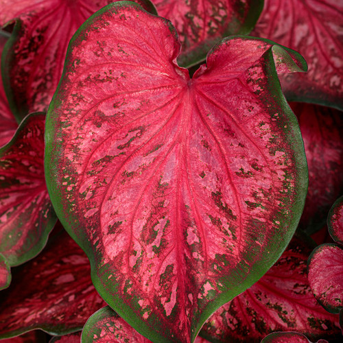 Heart to Heart® Scarlet Flame Caladium Foliage