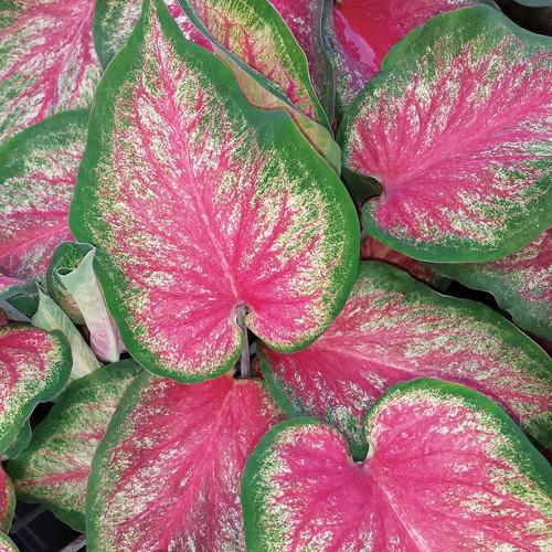 Heart to Heart® Tickle Me Pink Caladium Foliage