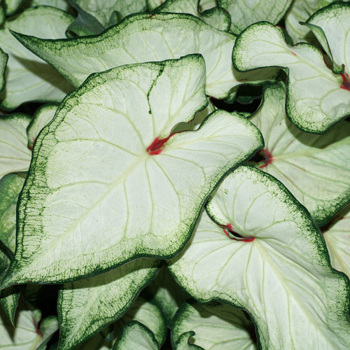 Heart to Heart® White Wonder Caladium Foliage