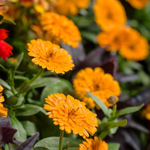 Lady Godiva® Orange English Marigold Flowers and Foliage