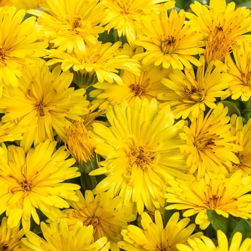 Lady Godiva® Yellow English Marigold Flowers Close UP