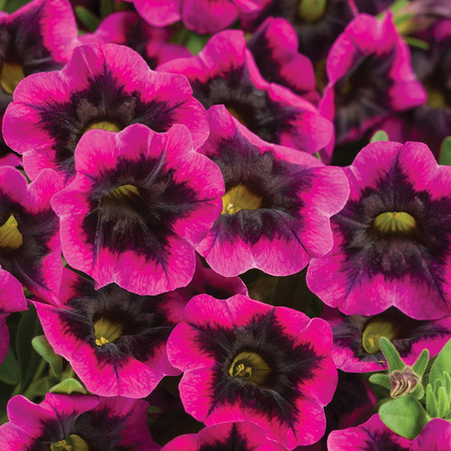 Superbells Blackcurrant Punch Calibrachoa Flowers Close Up