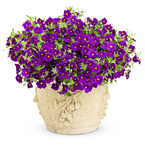Superbells Blue Calibrachoa in Garden Planter Covered in Flowers