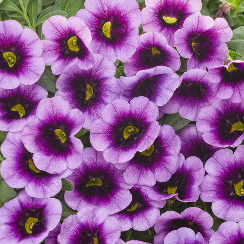 Superbells® Blue Moon Punch Calibrachoa Flowrs and Foliage