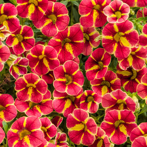 Superbells® Cardinal Star Calibrachoa Flowers and Foliage