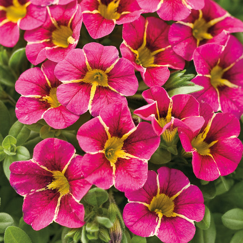 Superbells® Cherry Star Calibrachoa Flowers and Foliage