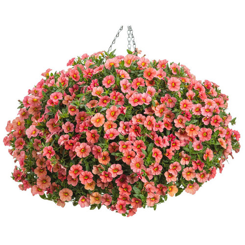 Superbells Coralina Calibrachoa in Hanging Basket