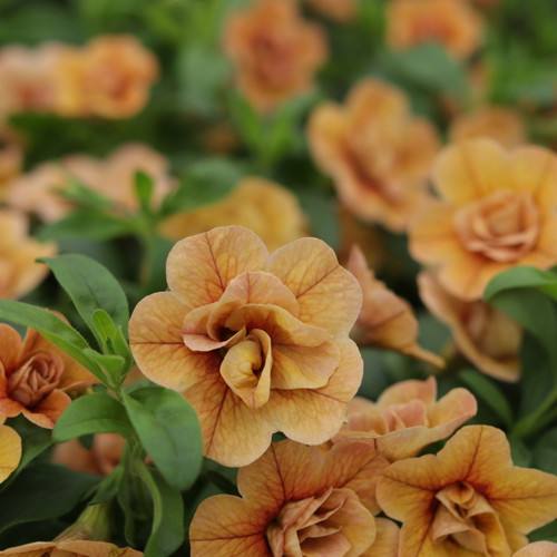 Superbells Double Amber Calibrachoa Flowers and Foliage