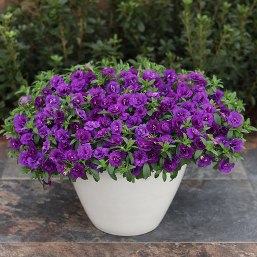Superbells® Double Blue Calibrachoa in decorative pot (1)
