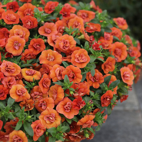 Superbells® Double Orange Calibrachoa blooms
