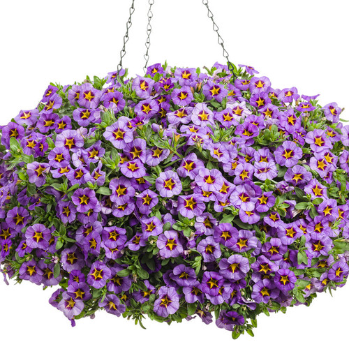 Superbells® Evening Star™ Calibrachoa in hanging basket