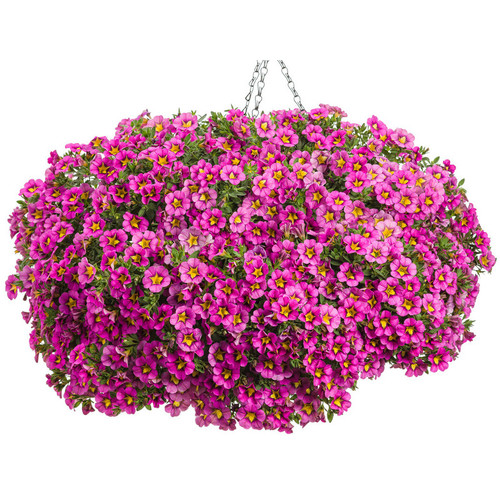 Superbells Hollywood Star Calibrachoa in Hanging Basket