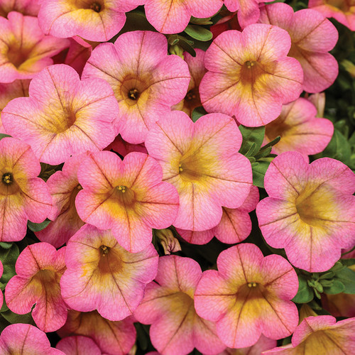 Superbells® Honeyberry™ Calibrachoa close up