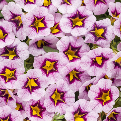 Superbells® Morning Star™ Calibrachoa Flowers