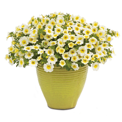 Superbells  Over Easy™ Calibrachoa Flowers In a yellow pot