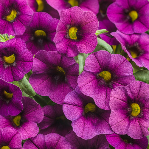 Superbells® Plum Calibrachoa Flowers