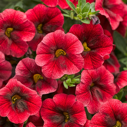 Superbells® Pomegranate Punch Calibrachoa Flowers and Foliage