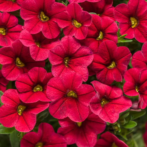 Superbells® Red Calibrachoa Flowers and Foliage