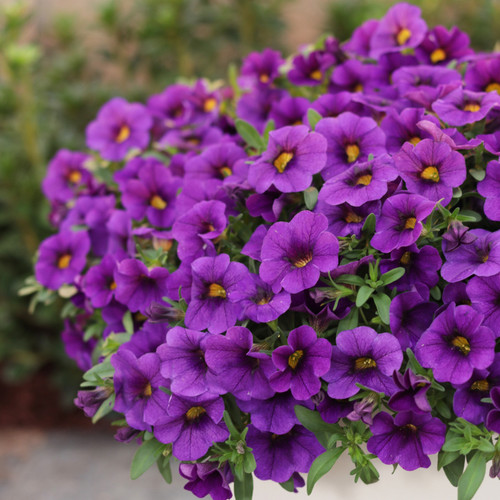 Superbells® TableTop Blue Calibrachoa in Garden Planter