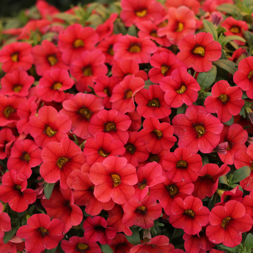 Superbells® TableTop Red Calibrachoa Foliage and Flowers