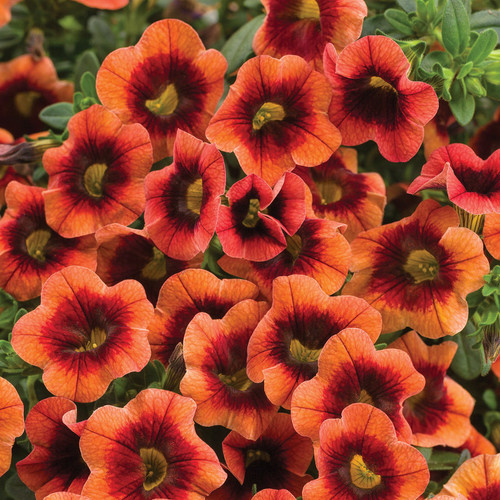 Superbells® Tangerine Punch™ Calibrachoa Flowers