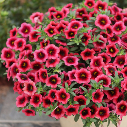 Superbells® Watermelon Punch™ Calibrachoa is blooms