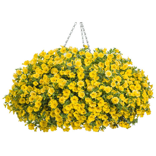 Superbells® Yellow Calibrachoa in Hanging Basket