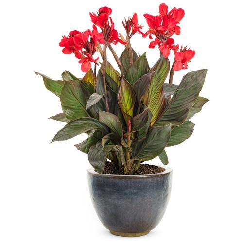 Toucan® Scarlet Canna Lily In Garden Planter