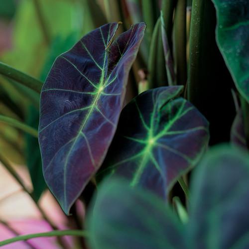 Illustris Colocasia Leaves Close Up