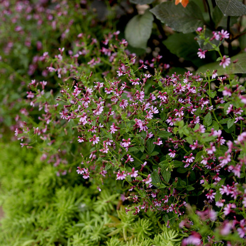 Fairy Dust® Pink Cuphea Plants Mass Planted Garden Border