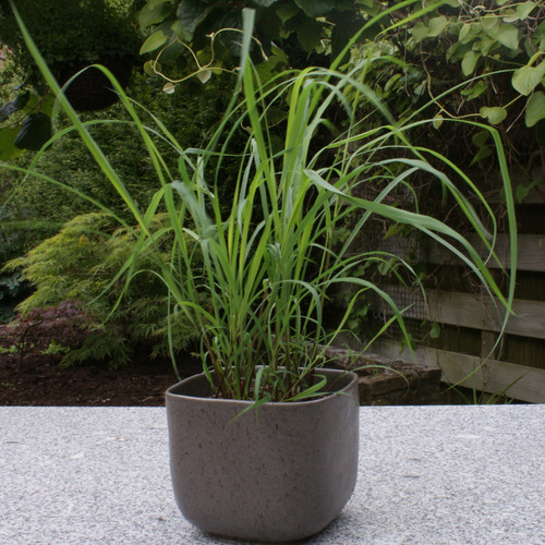 Lemongrass Plant Growing in Patio Planter