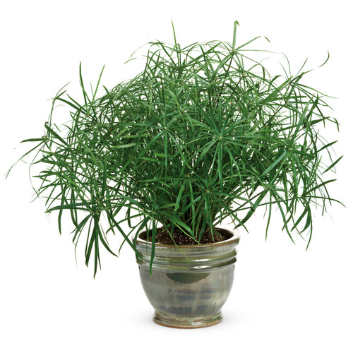 Graceful Grasses® Baby Tut® Umbrella Grass in Indoor Pot