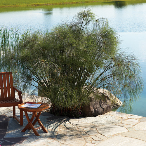 Graceful Grasses® King Tut® Egyptian Papyrus Growing Next to the Pond