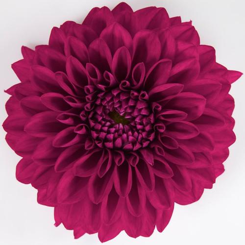 Dalina® Grande Castillo Dahlia Flower Petals