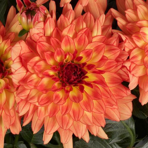 Dalina® Grande Tequila Dahlia Flower Petals