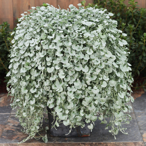 Large Proven Accents Silver Falls Dichondra Plant in Patio Planter