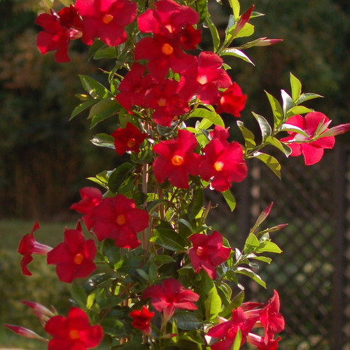 Sundenia® Red Dipladenia Flowers