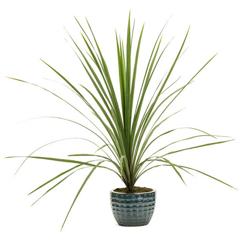 Proven Accents® Spikes Dracaena in Decorative Pot
